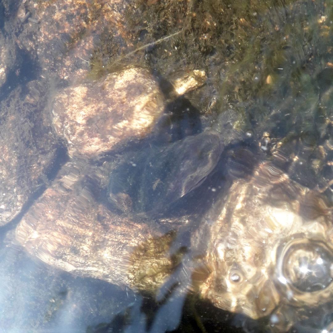 Moule cachée dans l'eau